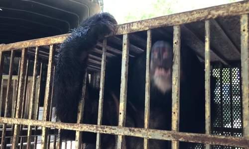 Chuyển giao bố con gấu cuối cùng tại rạp xiếc Trung ương